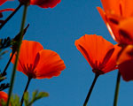 contrasting orange poppy and blue sky